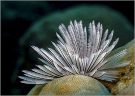 Bruce Shafer - Common feather duster worm, New Ireland, Papua New Guinea.