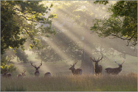 Stuart Black - Deer in morning mist, Woburn Abbey Park, Woburn, Bedfordshire, England, United Kingdom, Europe
