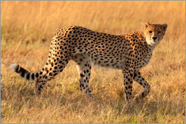 Cheetah looking for its pray