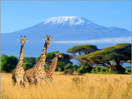 Three giraffes in front of Kilimanjaro
