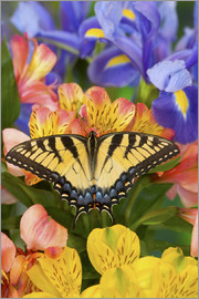 Darrell Gulin - Eastern Tiger Swallowtail Butterfly, Papilio glaucus