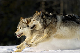 John Hyde - Pack Of Grey Wolves Running Through Deep Snow