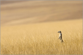 Janet Muir - lonely meerkat in prairie grass