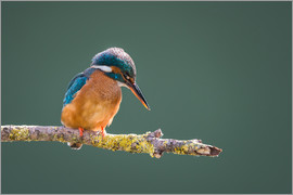 Matthew Cattell - Kingfisher (Alcedo atthis) taken when the sun was still low in the sky, Worcestershire, England, Uni