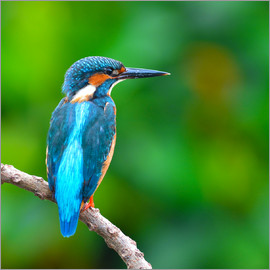 Kingfisher in blue turquoise