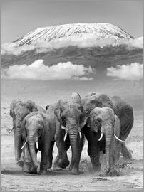 Elephant herd with Kilimanjaro
