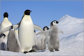 Keren Su - Emperor Penguin (Aptenodytes forsteri) parent with chick on ice