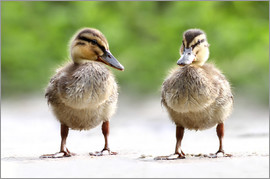 WildlifePhotography - enten