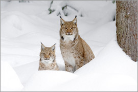 age fotostock - European Lynx in Winter, Lynx lynx, Bavarian Forest National Park, Germany, Europe.