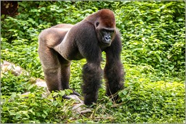 imageBROKER - Western lowland gorilla, male in enclosure