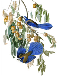 John James Audubon - Florida-Buschhäher