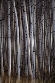 Ron Harris - Forest of birch trees, Alberta, Canada