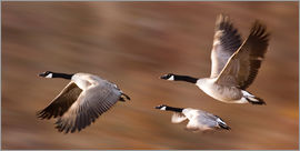 Don Hammond - Canada Geese In Flight