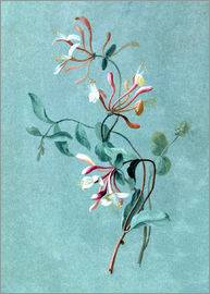 Pierre Joseph Redouté - Honeysuckle
