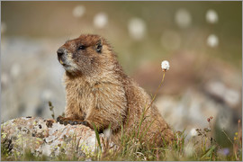 James Hager - Yellow-bellied marmot