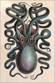 Common squid - Octopus