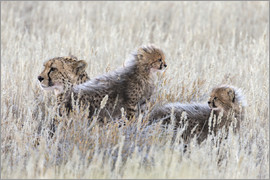 Cheetah (Acinonyx jubatus) with cubs, Kgalagadi Transfronter Park, Northern Cape, South Africa, Afri