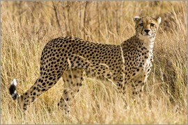 Ralph H. Bendjebar - Cheetah stands between dry grasses