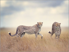 Cheetahs on the hunt