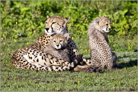 Ralph H. Bendjebar - Cheetah mother and cubs