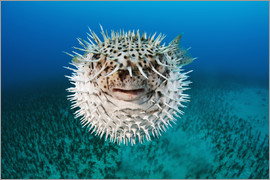 Dave Fleetham - Spotted porcupinefish