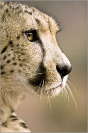 Janet Muir - Face of the cheetah
