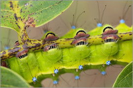 Buiten-Beeld - Giant Peacock Moth, detail of the feet of the caterpillar