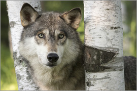Jaynes Gallery - Gray wolf between birch