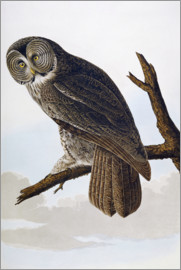 John James Audubon - Great Cinereous Owl, from 'The Birds of America'