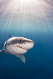Dave Fleetham - Great white shark (Carcharodon carcharias), Guadalupe Island, Mexico