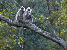 K Jayaram - Grey langur monkeys
