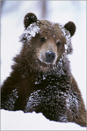 Doug Lindstrand - Grizzly im Schnee