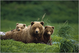 Jo Overholt - Grizzly Bear Mother and Cubs