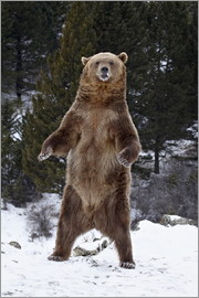 James Hager - Grizzly Bear standing in the snow