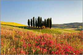 Markus Lange - Group of cypress trees and field of flowers, near San Quirico, Val d'Orcia (Orcia Valley), UNESCO Wo