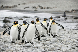 ES Pictures - Group of Emperor Penguins (Aptenodytes forsteri) walking together in a line on a beach.