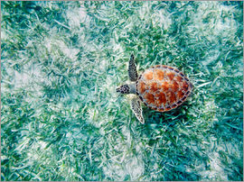 M. Swiet - Green sea turtle from above