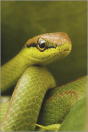 Ktsdesign - Serpente verde