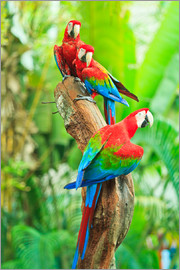 Group of dark red macaws