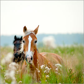 Haflinger with wildflowers