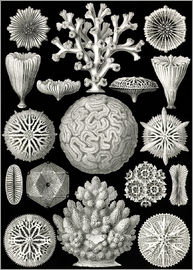 Ernst Haeckel - Hexacoralla