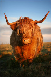 Martina Cross - Highland Coo