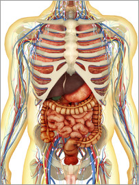 Human body with internal organs, nervous system, lymphatic system and circulatory system.