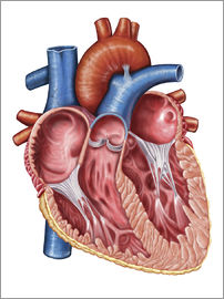 Stocktrek Images - Interior of human heart.
