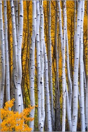 David Svilar - Intimate scene of aspen forest in fall