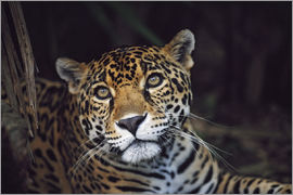 David Ponton - Jaguar (Panthera Onca)