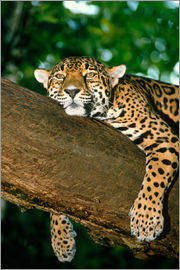 William Ervin - Jaguar resting in a tree