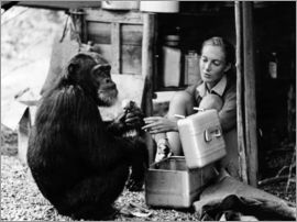 Jane Goodall mit Schimpanse David Greybeard
