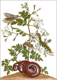 Maria Sibylla Merian - jasmine with snake and lepidoptera metamorphosis