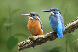 WildlifePhotography - Kingfisher Deutschland